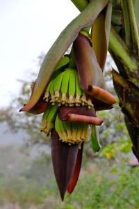 costa-rica-banana-tree.jpg